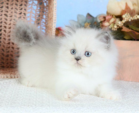 Himalayan Kittens For Sale Kittens Cutest Teacup Cats Pics Of