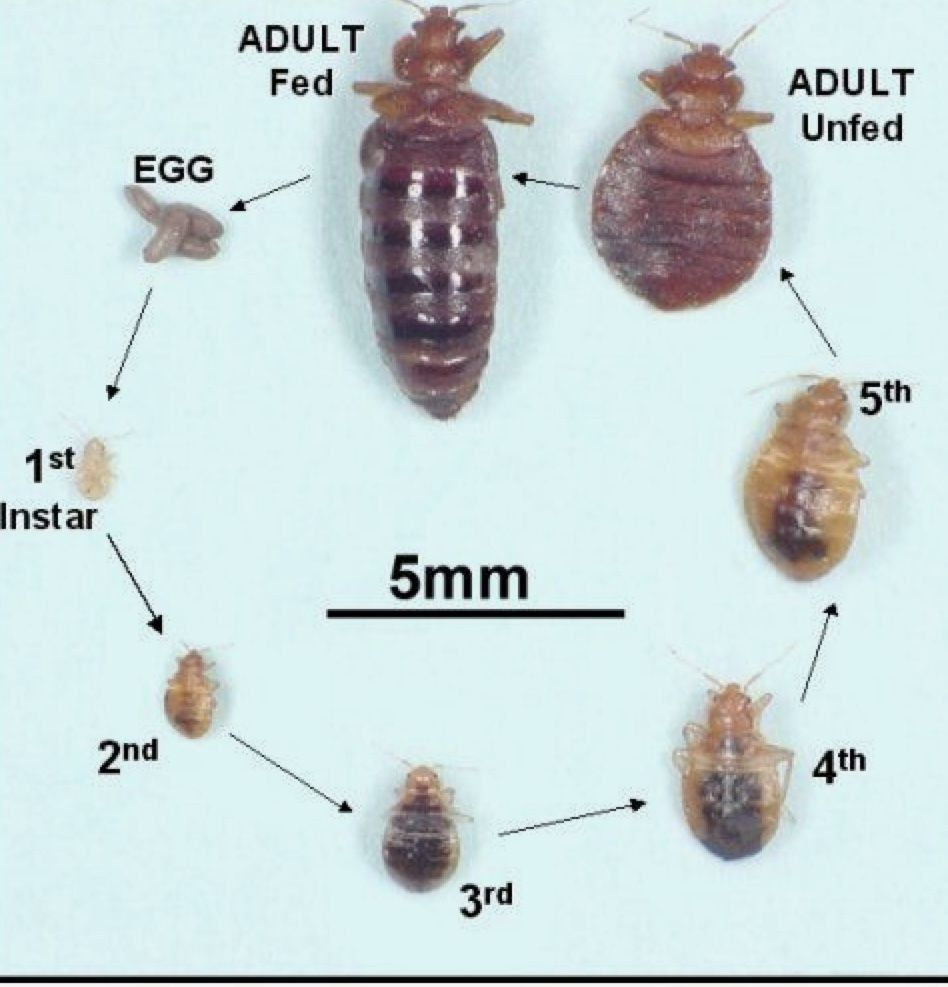 Life Cycle Of Bed Bug From Egg To Adult Bed Bugs Pictures Of