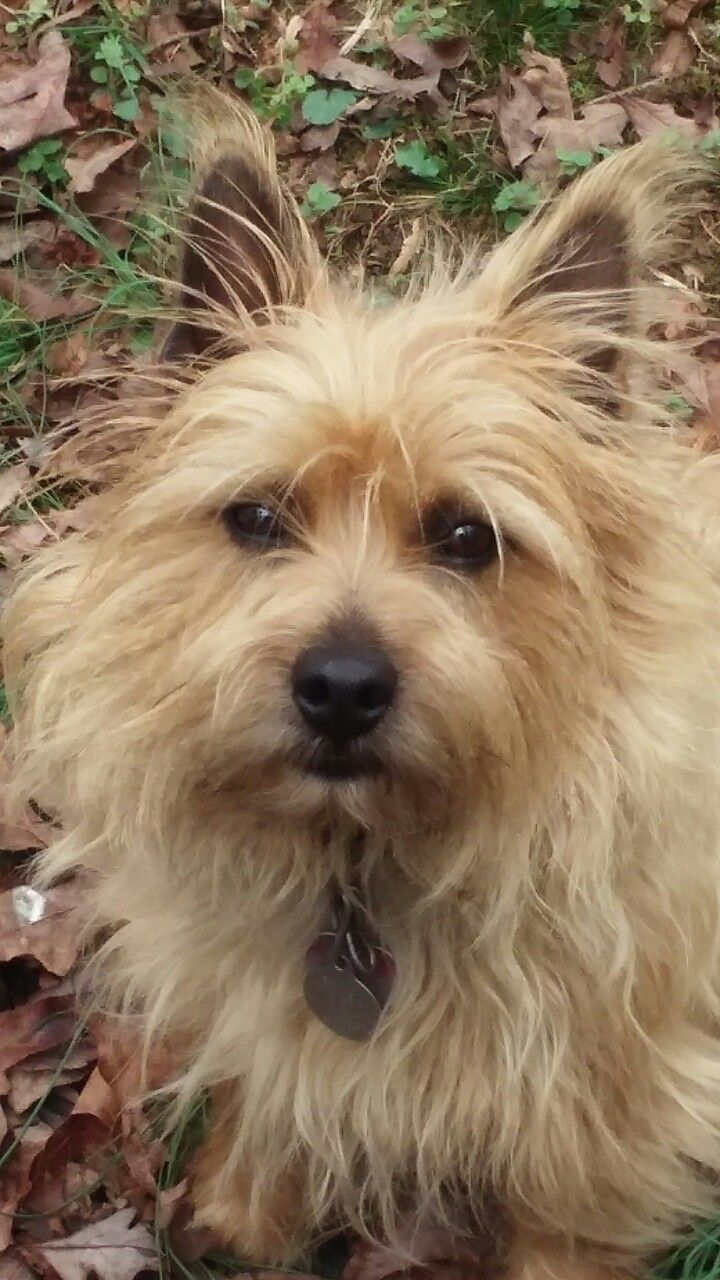 My Friend Norwich Terrier