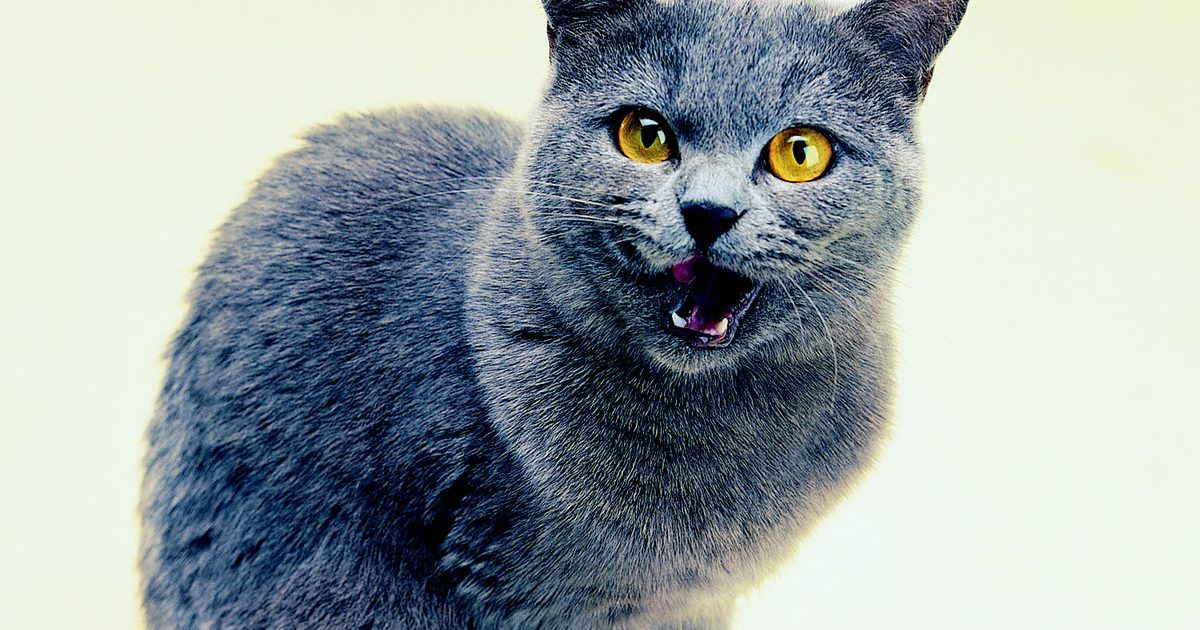 Motivos para seu gato estar miando à noite. Se o seu gato mia durante a noite, o ruído pode manter você e outras pessoas acordados. Este comportamento, também chamado de hipervocalização (hypervocalization, em inglês), tem muitas causas, incluindo as questões comportamentais e médicas. Gatos que começam a miar muito durante a noite precisam de um exame veterinário para determinar as causas ...