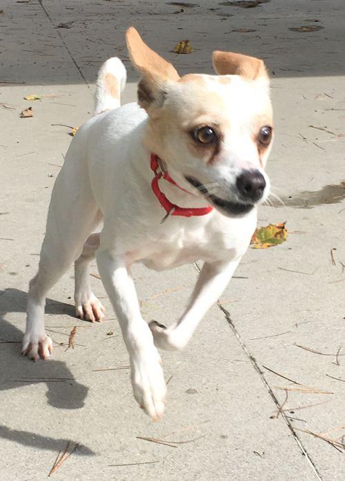 Jack Chi Dog For Adoption In Shaftsbury Vt Adn 688697 On