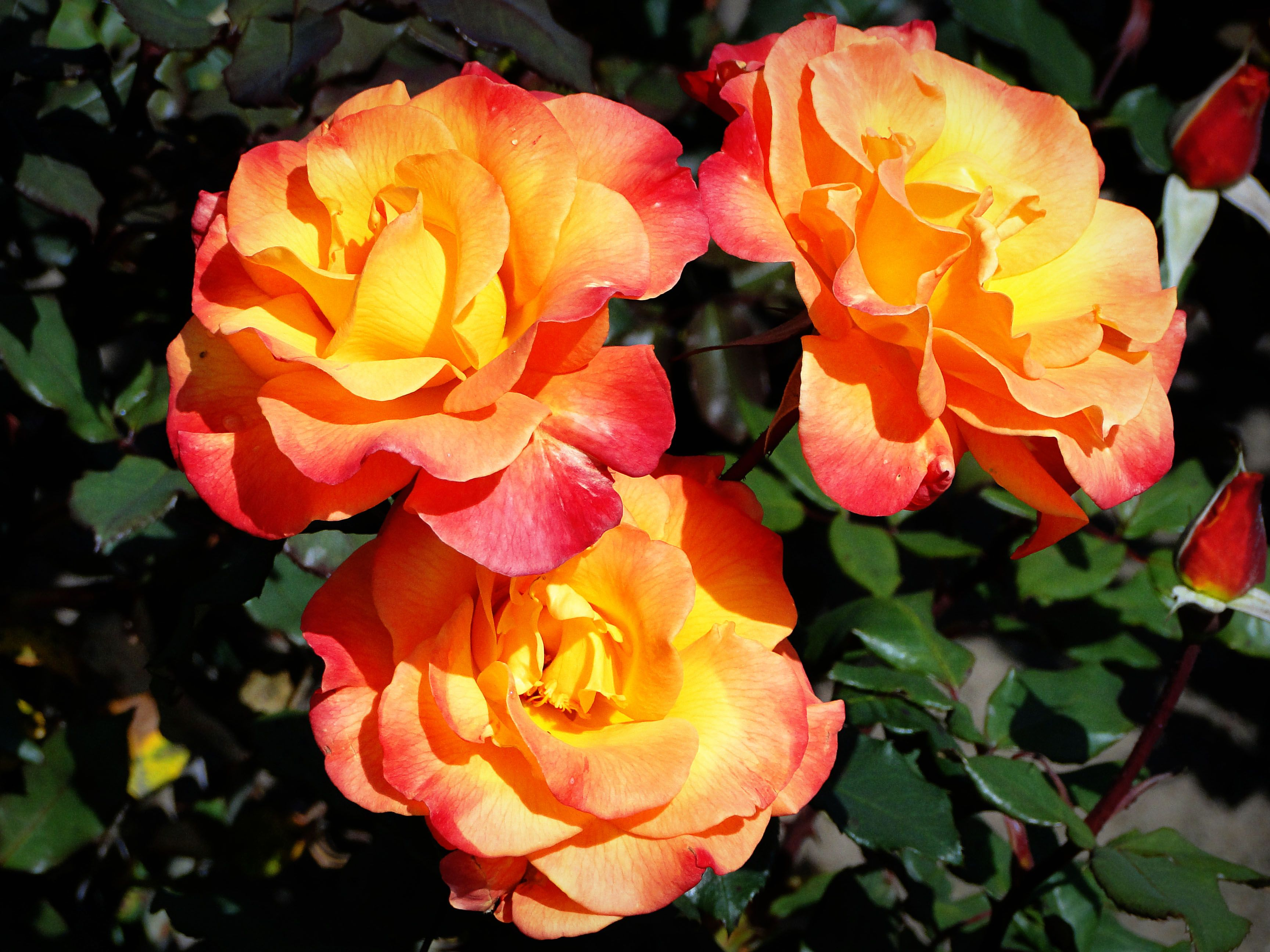 Rose garden ideas how to grow your best roses this year everything rose garden ideas how to grow your best roses this year everything you need izmirmasajfo