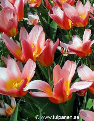 Hearts Delight - Tulipa