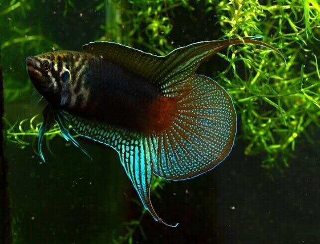 Black round tail Paradise fish (Macropodus ocellatus ) 80 mm 80x30cms for a pair (minimum size tank requirement). Temp 3-20 degrees celcius. pH: 6.0 – 7.5 Hardness: 90 – 357 ppm, Bubble nesters, males are generally larger and more colourful becoming more aggressive when breeding it has been known to breed them in ponds (preferably not with goldfish/carp ect). Difficult to locate in aquatic shops (UK) but not unheard of. Can grow to 70-80 mm. So exotic, unusual. Not suitable for beginners.