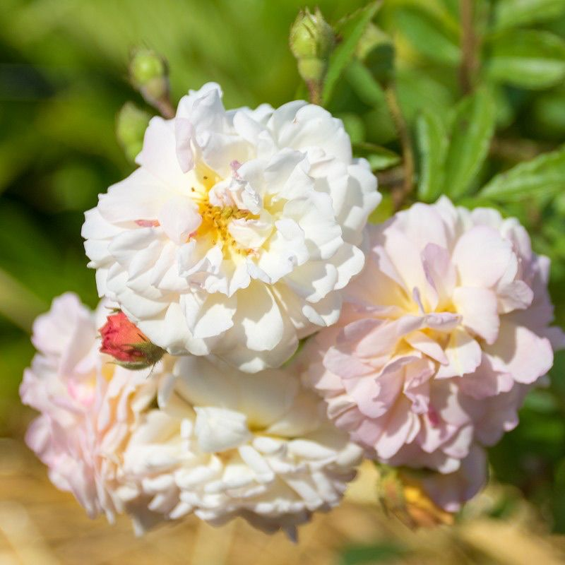 Ghislaine De Feligonde Ramblerrose Bodendeckerrosen Rambler Rose Rosen