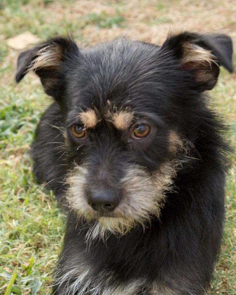 Adopt charlie on pets dogs schnauzer mix
