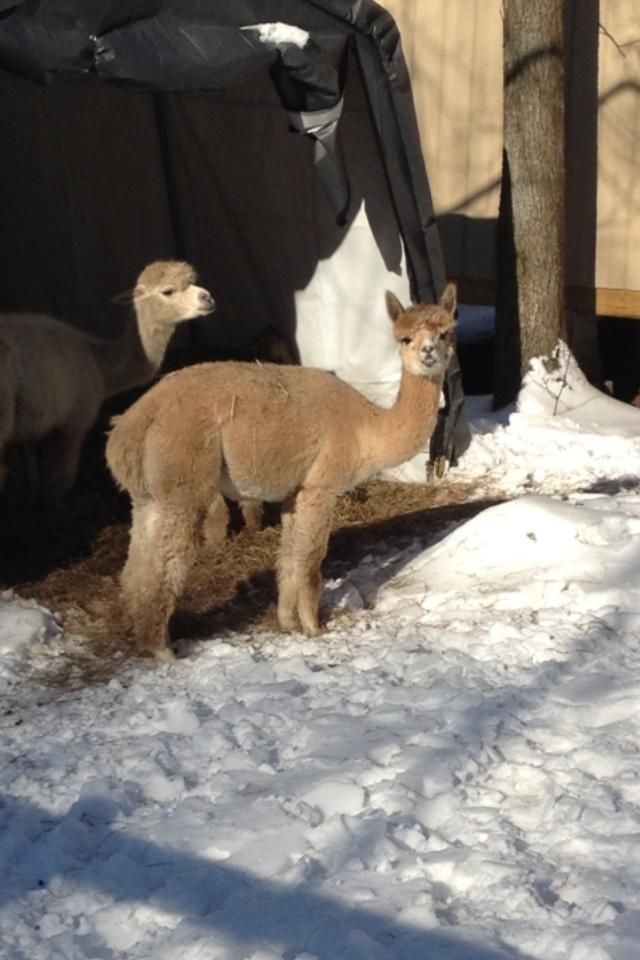 Greta is a 15 month old female alpaca looking for her forever home.  She comes with two Southdown Babydoll sheep (wethers).  They are a happy herd and don't want to be broken up.  Greta is a little nervous still around strangers but she does warm...