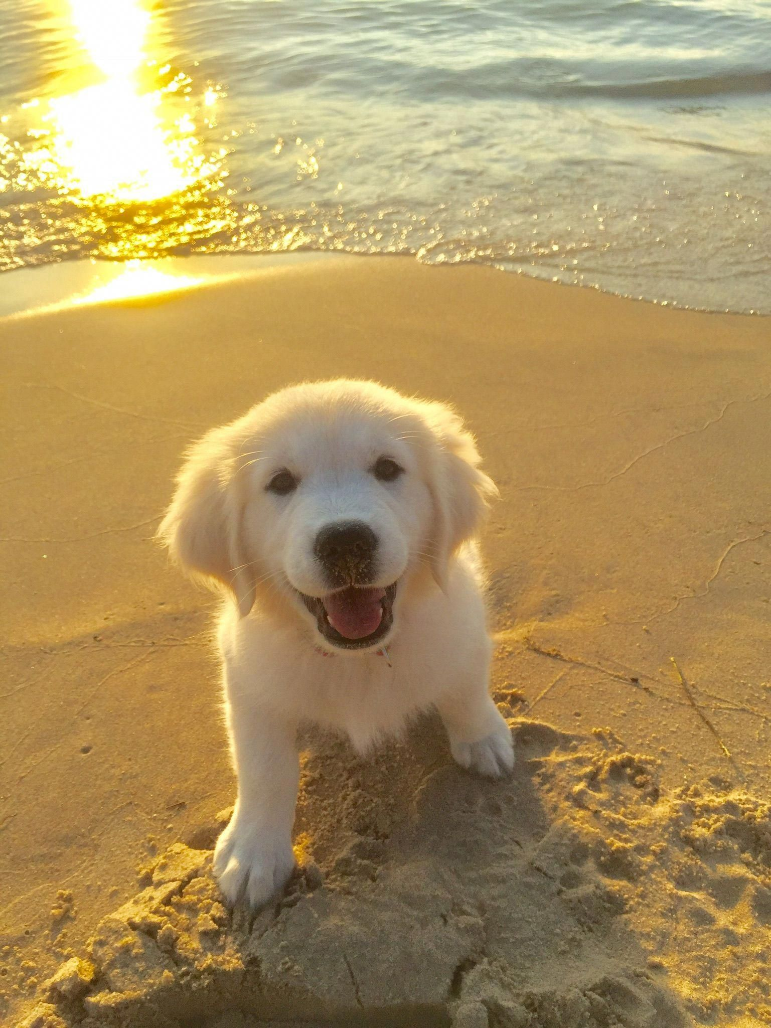 Cute Golden Retriever Puppy On The Beach At Sunset Funnydogs Cute Animals Puppies Cute Baby Animals