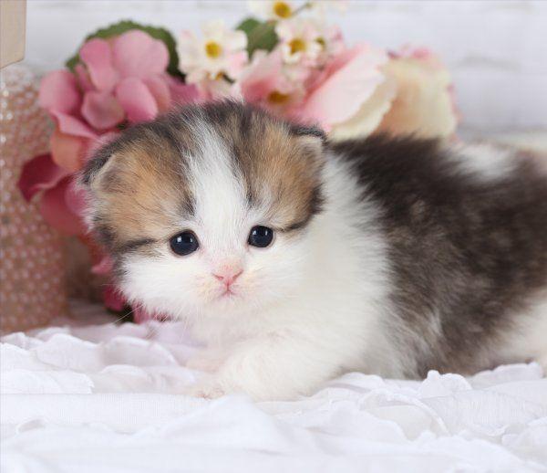 Golden & White Bicolor Persian Kittens Persian kittens