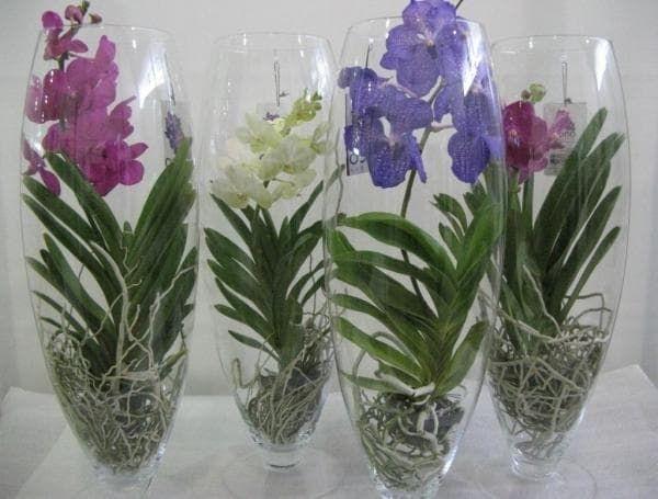 Орхидея Ванда -основные принципы ухода и выращивания