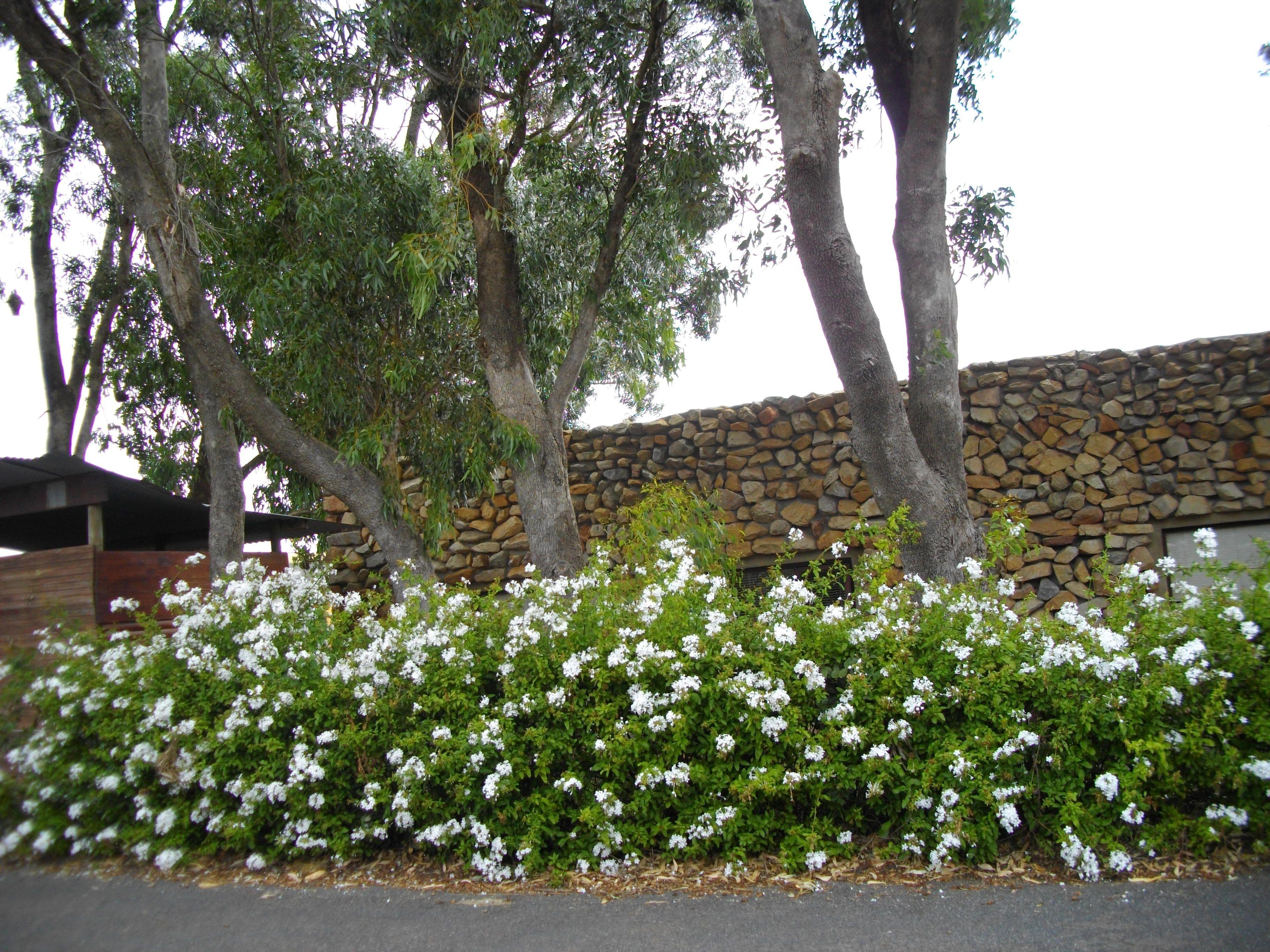Plumbago Auriculata White Google Search Brookgreen 400 x 300
