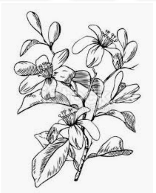 Pin de Fernando Romero en Neroli   Pinterest   Flor y Dibujo