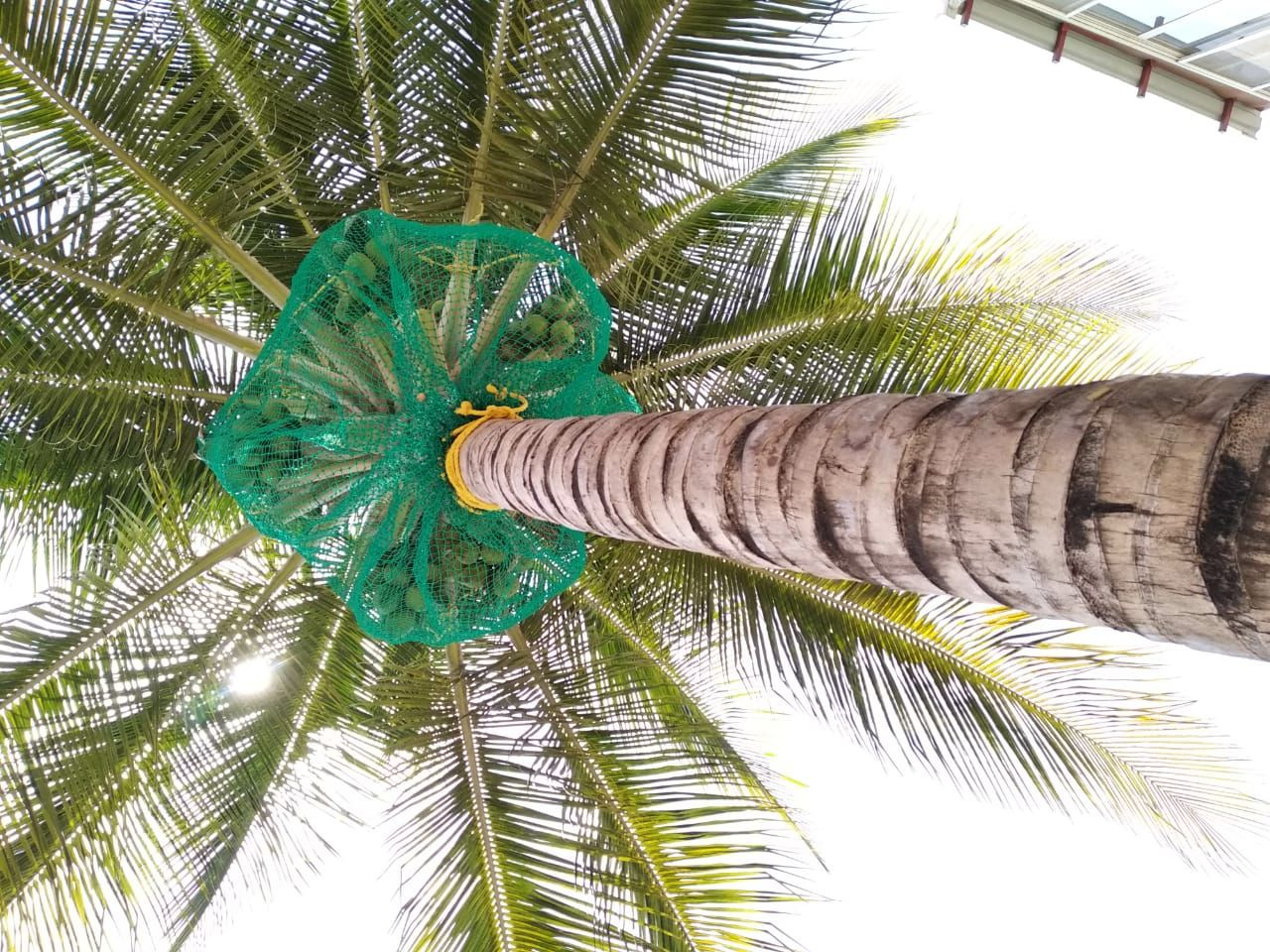 Facing problem of falling Coconuts?? Risk for children
