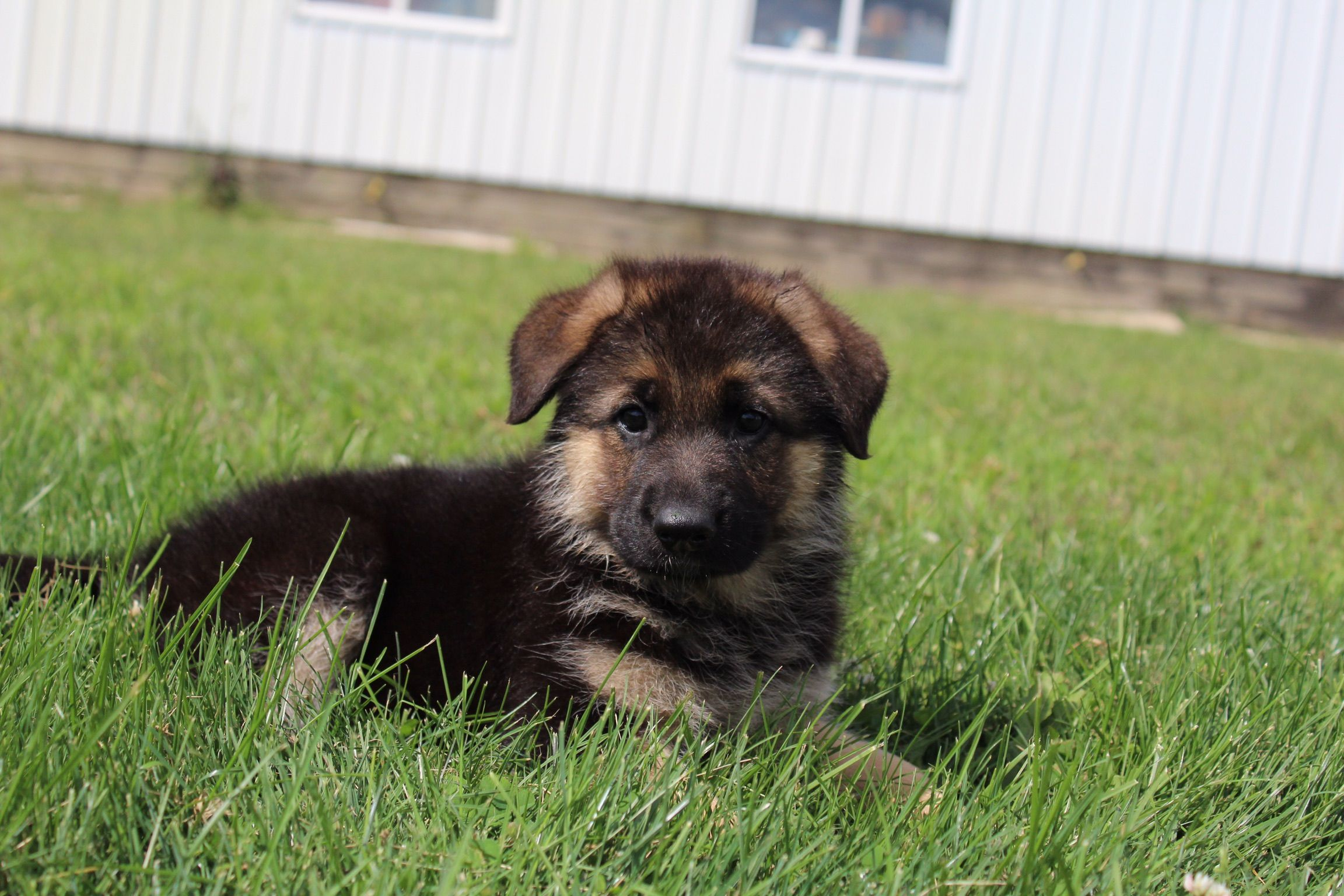 Meet Amy German Shepherd Puppies In Indiana For Sale Find Cute