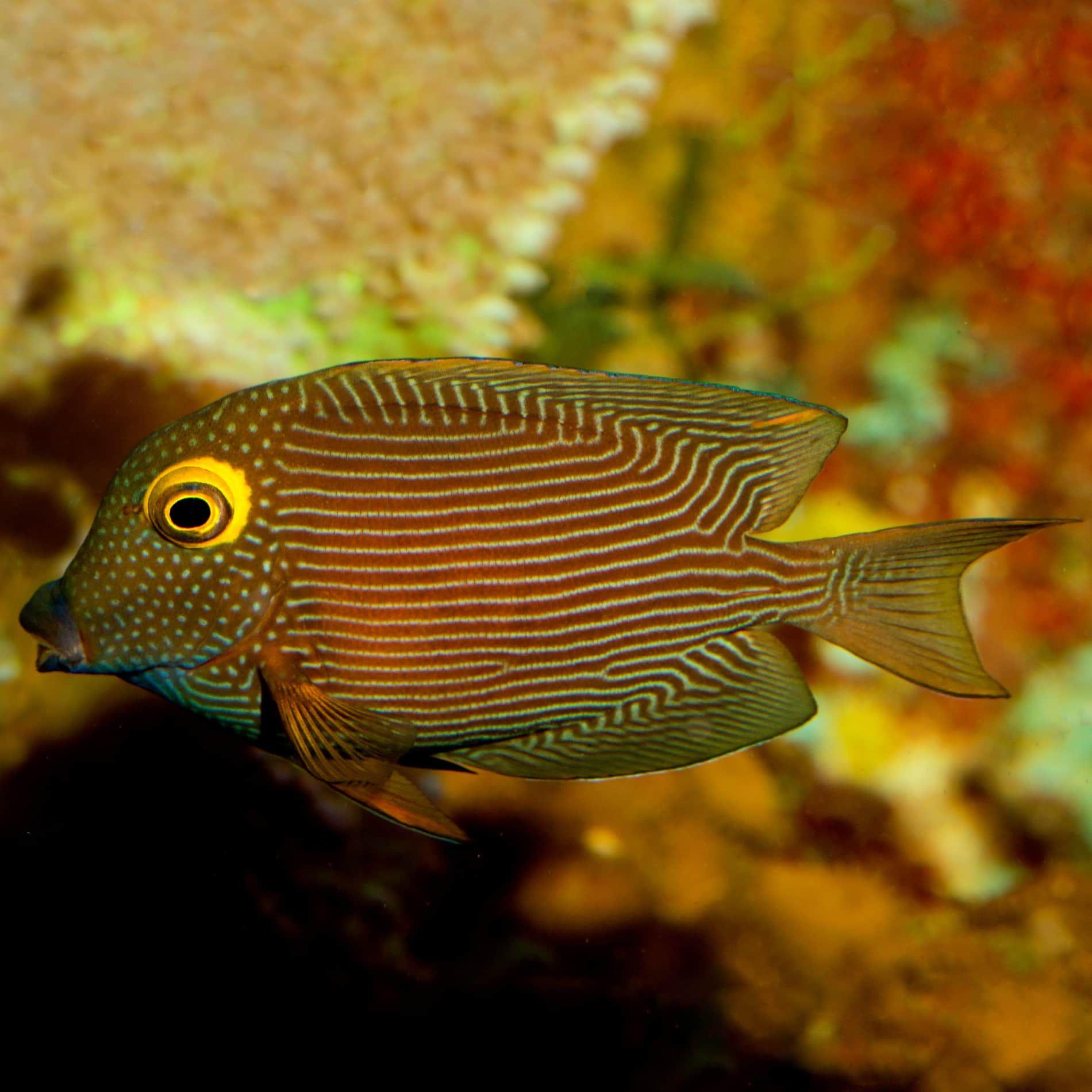 Kole Yellow Eye Tang Ctenochaetus Strigosus Yellow Eyes Herbivores Fish Pet