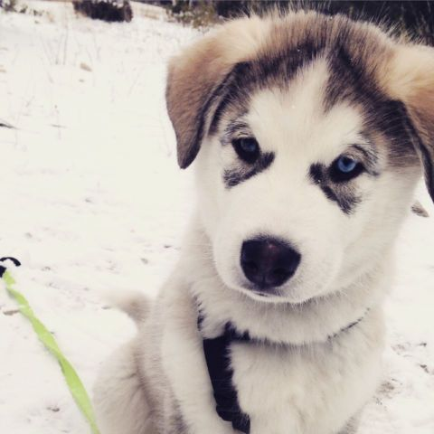 Alaskan Malamute Puppies Dogs Puppies For Rehoming Ottawa