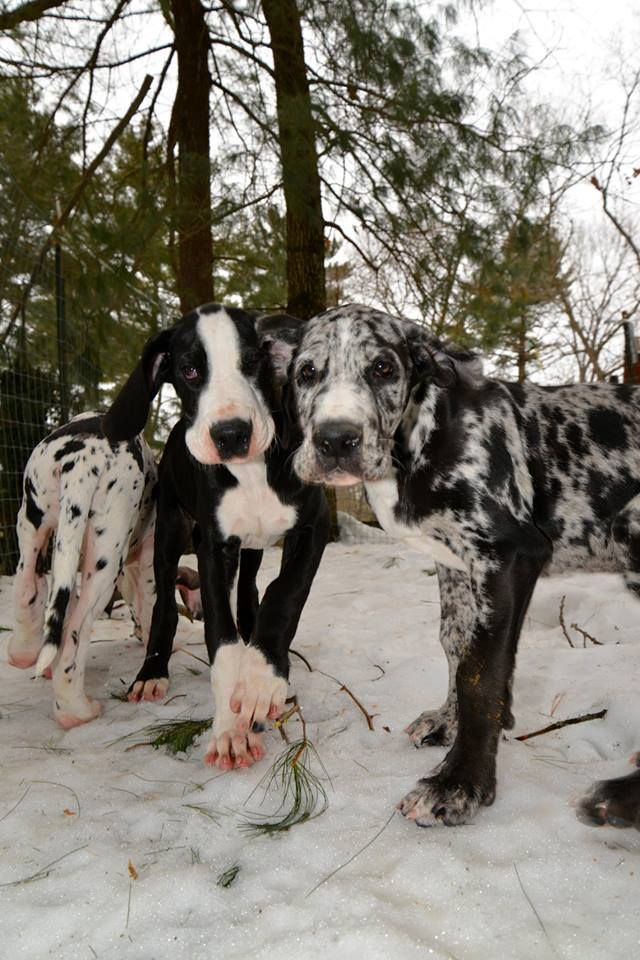 Pin By Explore Org On Dog Bless You Dane Dog Dane Puppies Great Dane Dogs