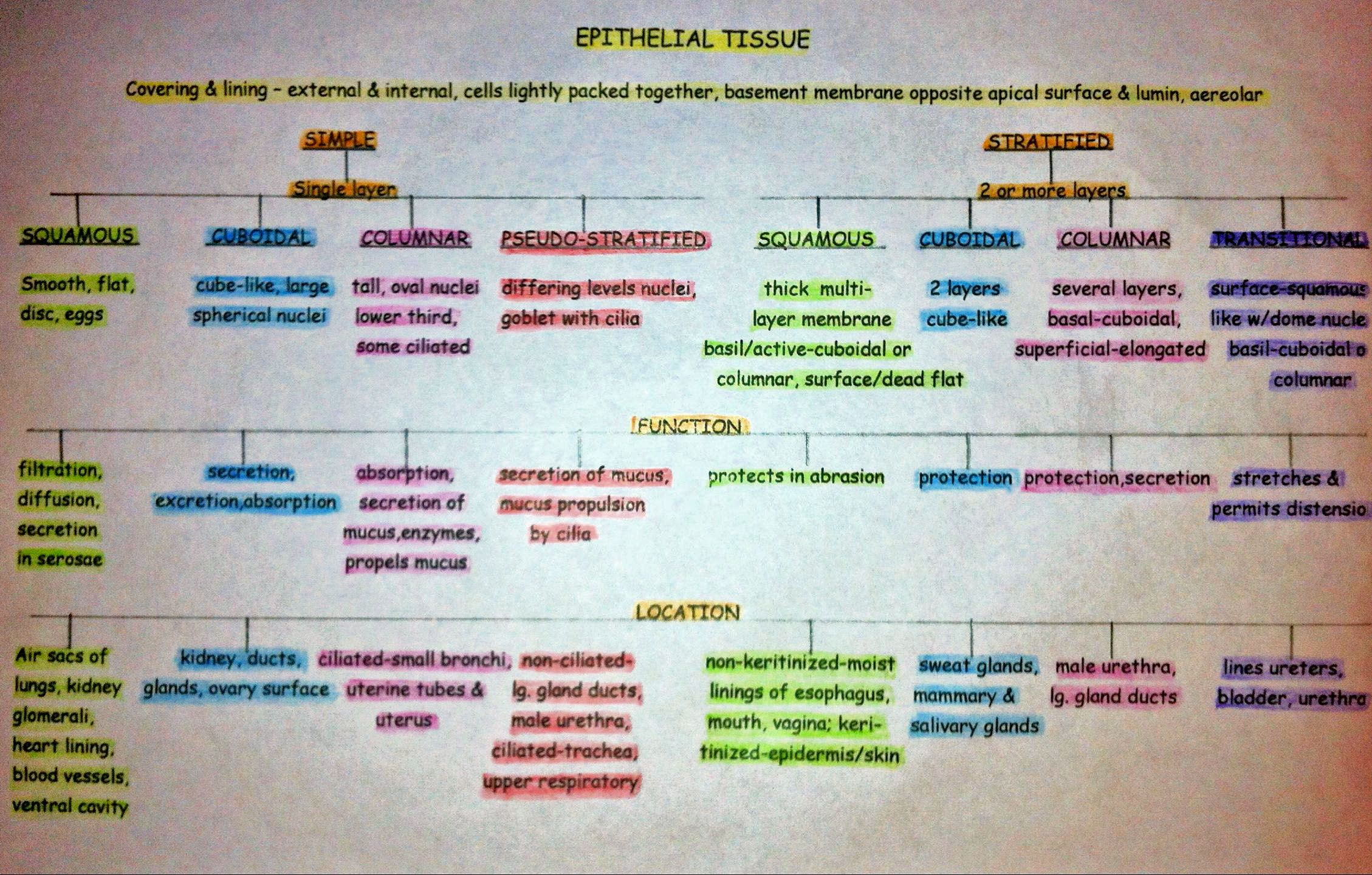Epithelial Tissue Breakdown | Anatomy & Physiology | Pinterest ...