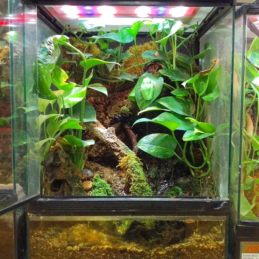 Red Eyed Tree Frog Terrarium Diy This Terrarium With A 18x18x24 Zoo