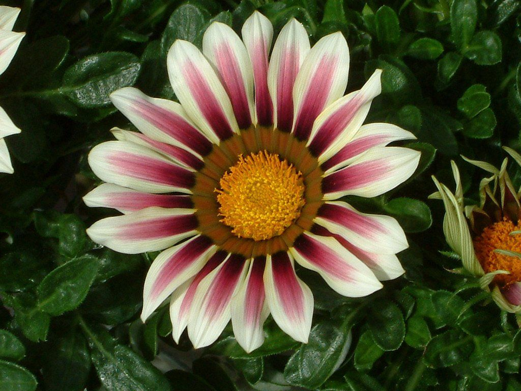Garden Leader Rose Stripe Bulk Gazania Seeds Perennial Seeds
