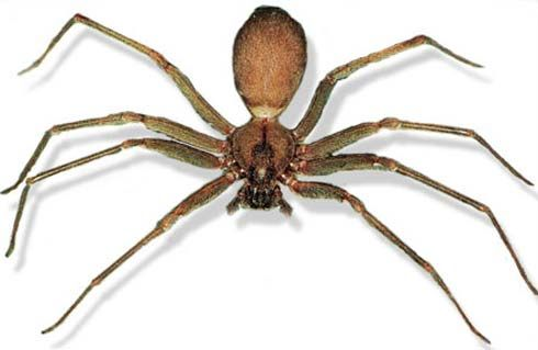 Brown Recluse - Fearsome Little Biter