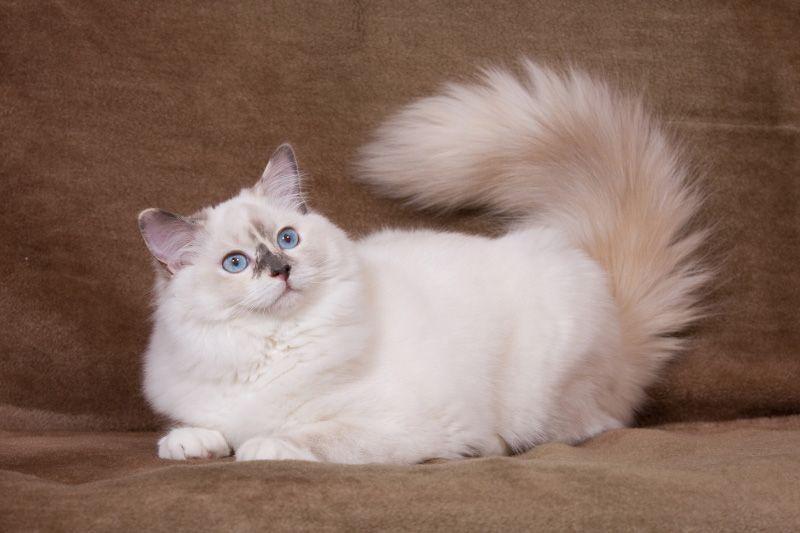 Ragdoll Cats For Sale Ragdollcatscolors Ragdollcatsforsale