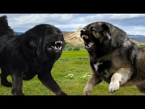 Tibetan Mastiff Vs Caucasian Ovcharka Difference Explained