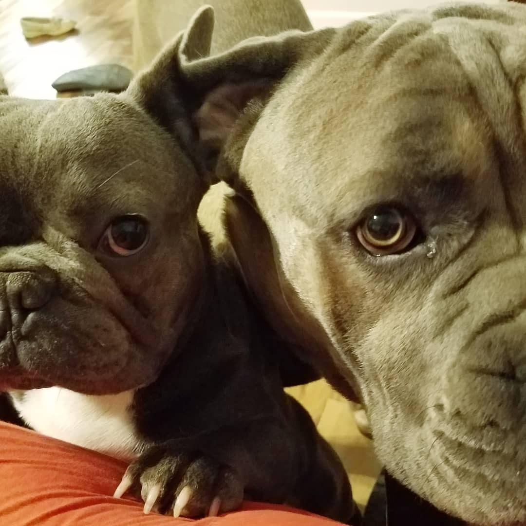 Partners In Crime Sweetnashville Darlingdenver Cane Corso Beautiful Dogs Doggy