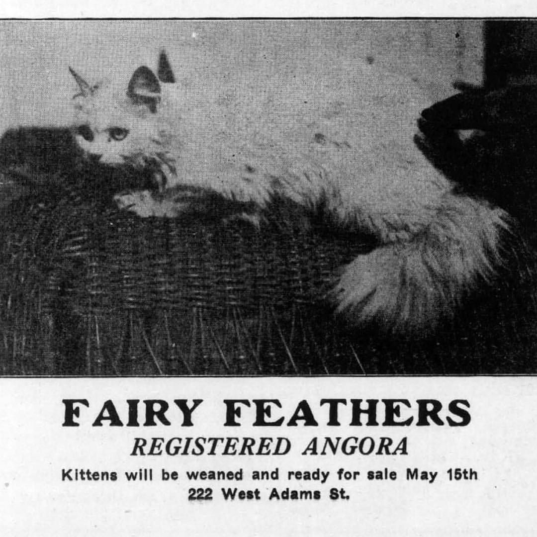 1918 ad for Fairy Feathers Registered Angora, 222 W. Adams