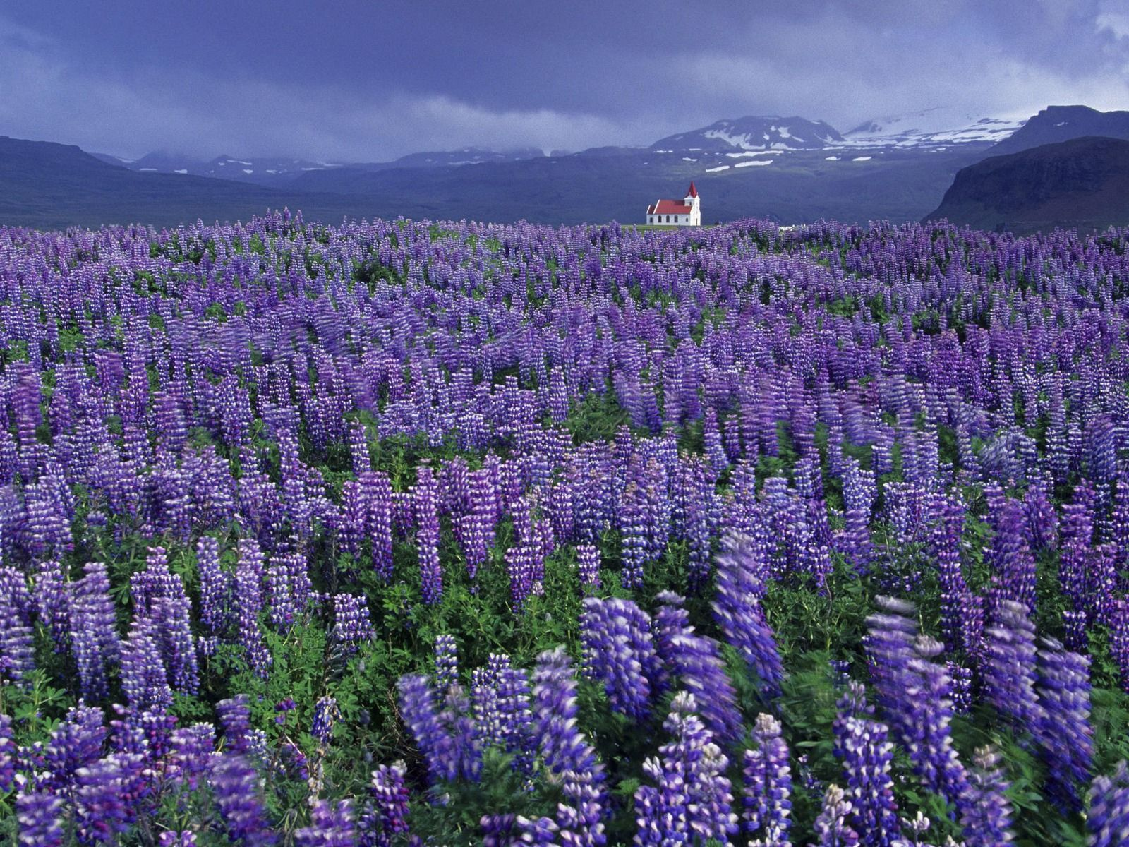 The Wild Lupine plant is a native plant that can be found
