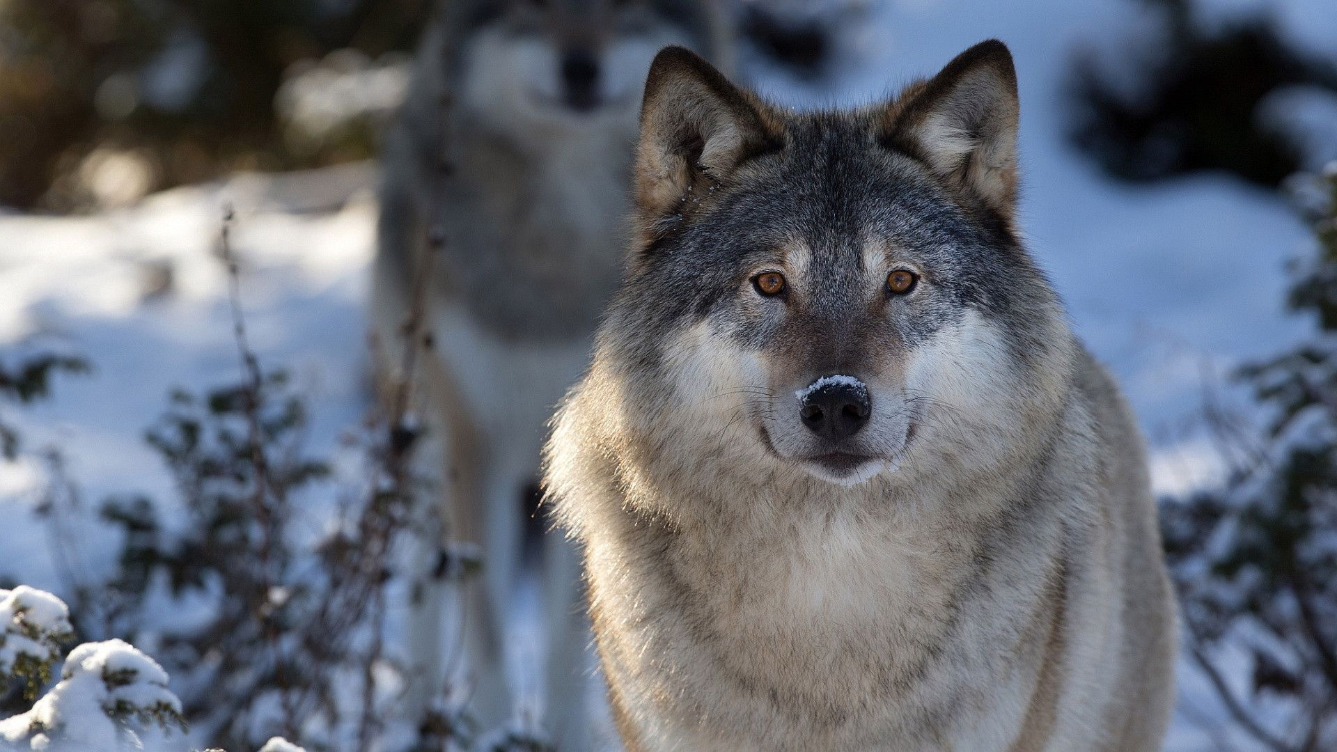 HD Wolf Wallpapers p 1920×1080 Wolves HD Wallpapers (45