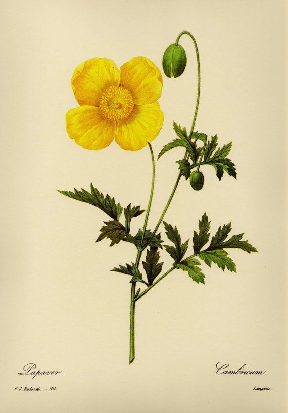Lovely Yellow Poppy Print French Country Decor Botanical Print ...