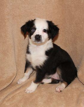 Miniature Australian Shepherd Puppy For Sale In Phoenix Az Adn