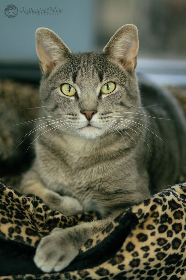 Home Grey Tabby Cats Tabby Cat Gorgeous Cats