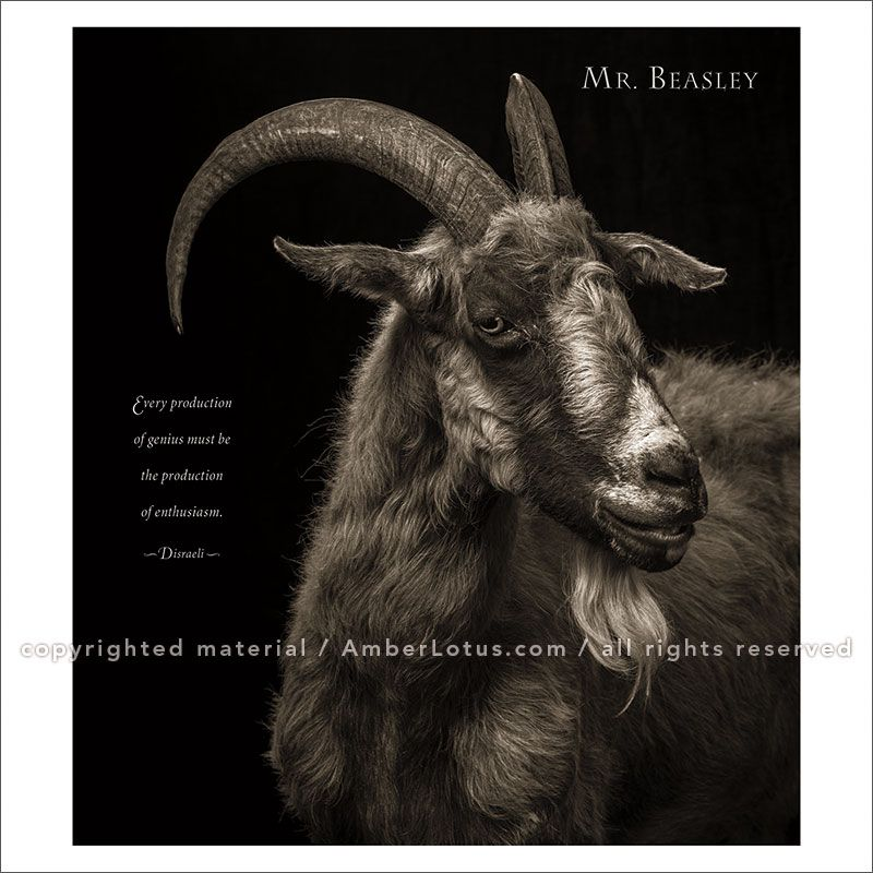 I Am Goat Wall Calendar Animal Portrait Photography By Ken - This photographer is celebrating stray cats through majestic portrait photographs