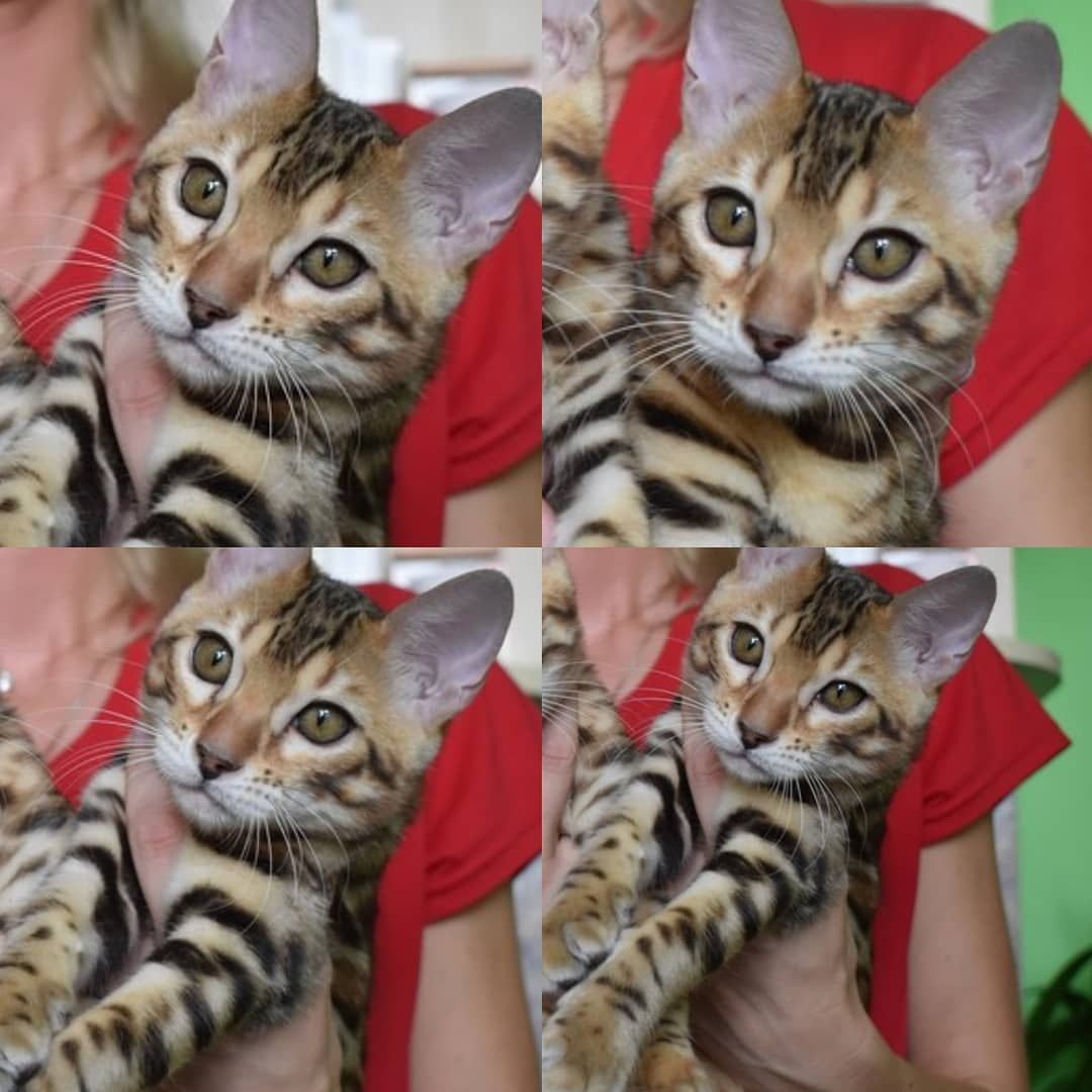 Available Bengal Kittens For Sale Kotejka Bengals Beautycat Bestmeow Bengalkittybaby Bengal Bengal Cat Bengal Kitten Bengal Kittens For Sale Bengal Cat