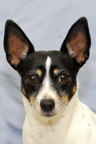 maybe Dax is part Rat Terrier