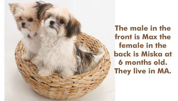Kathy S Mi Ki Puppies In Hudson Massachusetts Dog Breeder Looks