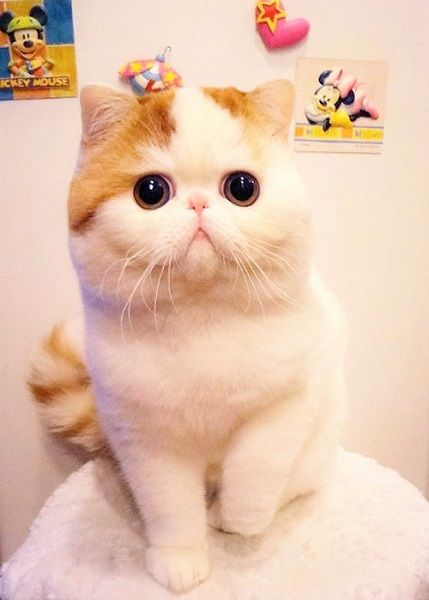 cutest cat breeds the