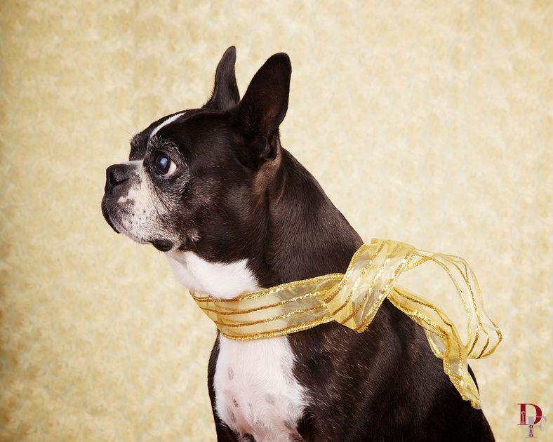 Star Portrait: Boston / Pet Photography / Dog / Denver / Studio / Pet Photographer