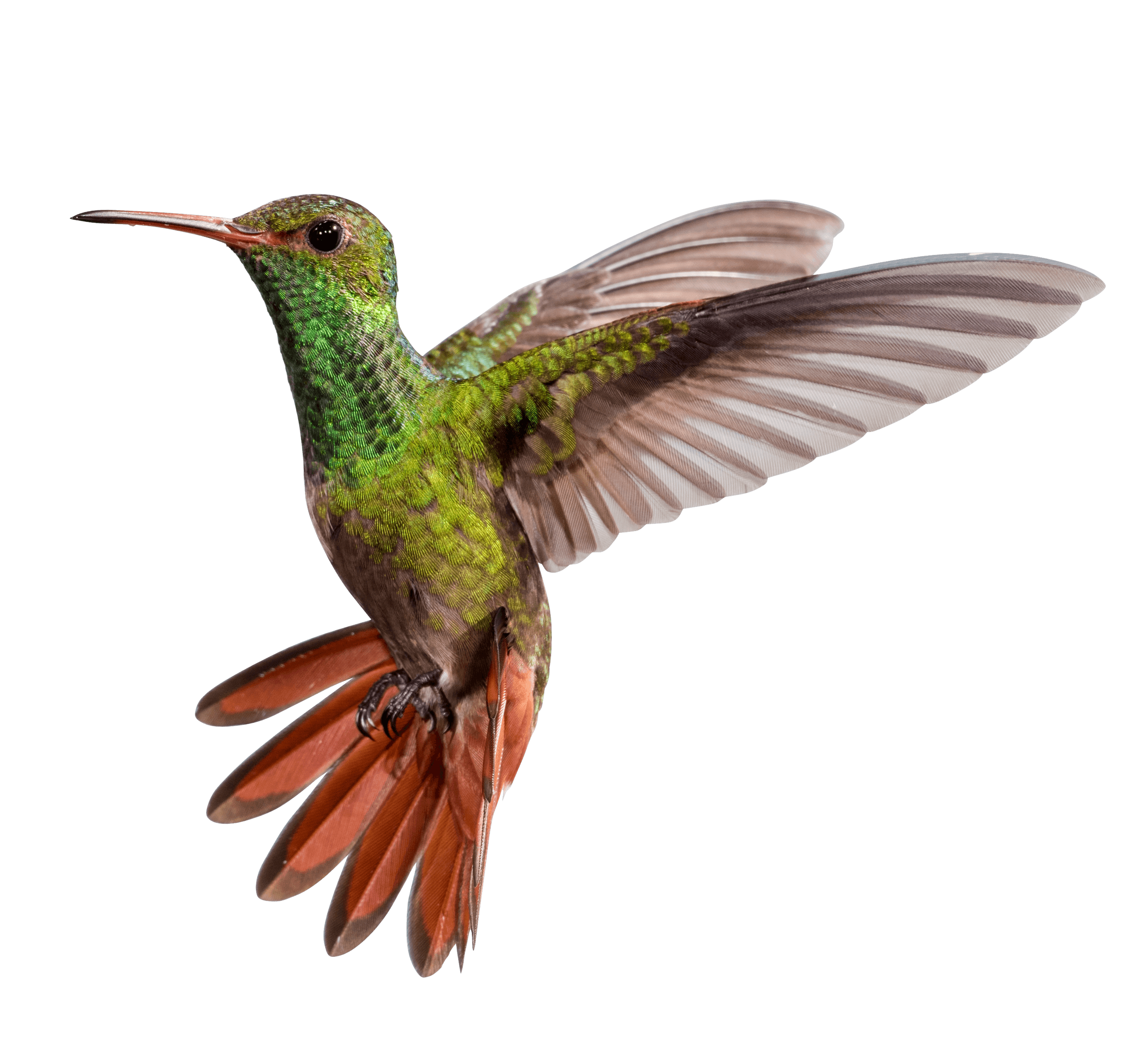 Hummingbird Png Search Png Png Png Images