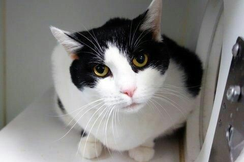 CANDY - A1089308 - - Manhattan   *** TO BE DESTROYED 10/18/16 *** ABANDONED IN HER HOME….CANDY was found after two weeks in her previous owner's home……A volunteer writes: Meet Candy: a super gregarious girl who bounds to the front of her kennel to meet and greet new people, who bleats like a baby goat instead of meowing, whose fluffy fur makes her a natural-born lap warmer. She came to us from a home, and her former owner had awesome things to say ab