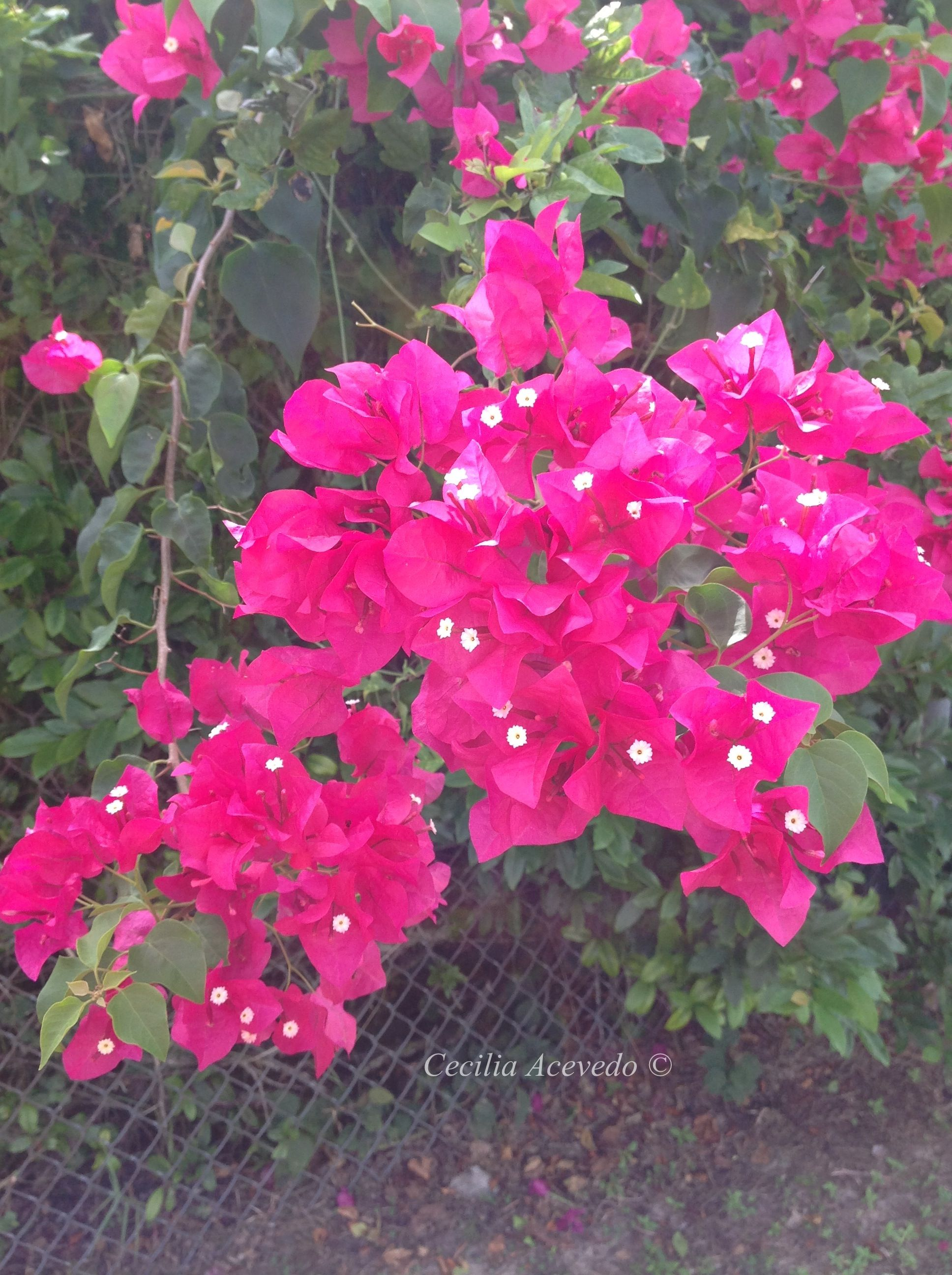 Tree With Hot Pink Flowers Florida Beautiful Flowers Plants