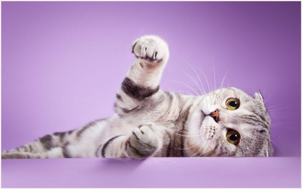 Scottish Fold Cat Wallpaper Scottish Fold Cat Wallpaper Cat