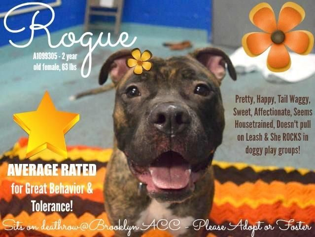 ROGUE – A1099305 Sweet, happy, affectionate girl, beginners dog, is on death list today! If you would like to foster or adopt and can't make it to the shelter, please write an email NOW to the Urgent Help Desk at Helpdogs@Urgentpodr.org Their experienced volunteers will assist you one-on-one with rescues and the application process. Transport can be arranged by rescues to the homes of approved fosters or adopters within 3-4 hours of New York City