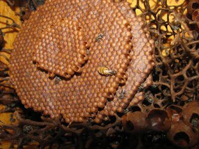 Area nido de cría de melipona.