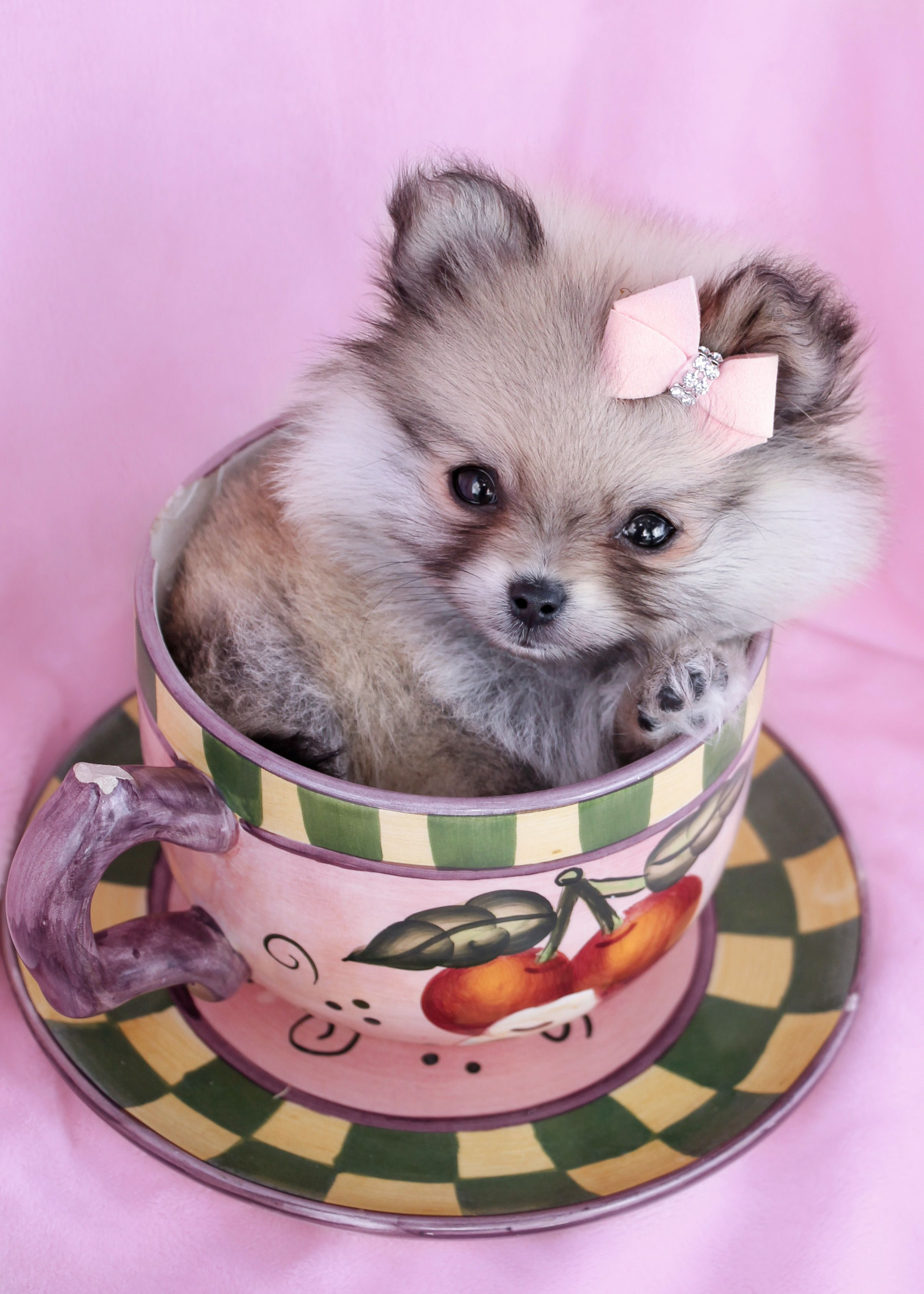Teacup Pomeranian Puppy by TeaCups, Puppies & Boutique