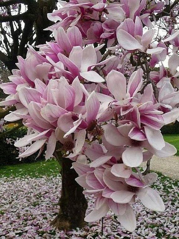 5 Light Purple White Magnolia Seeds Lily Flower Tree Fragrant Tulip