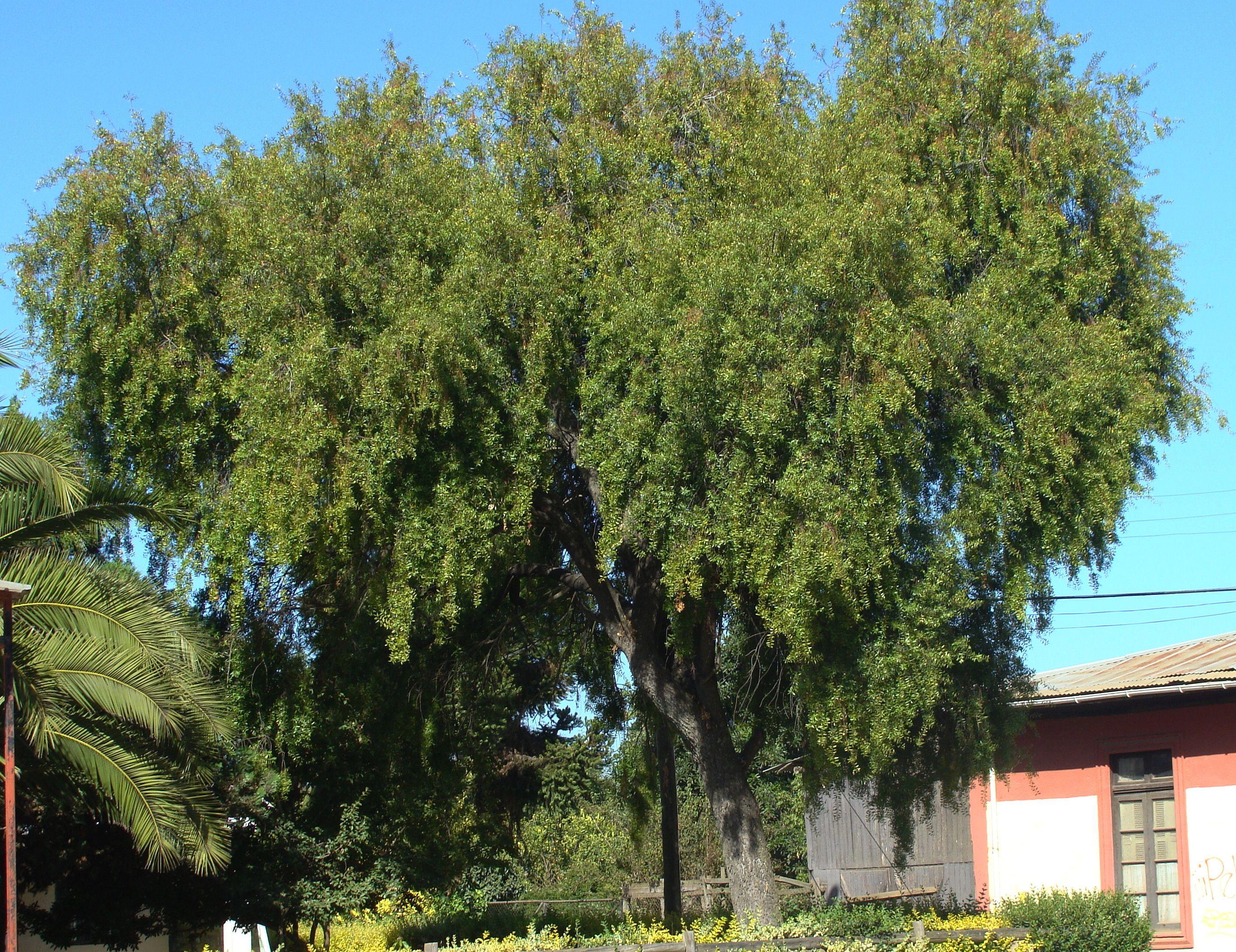 Maiten rboles ornamentales pinterest rboles for Tipos de arbustos ornamentales