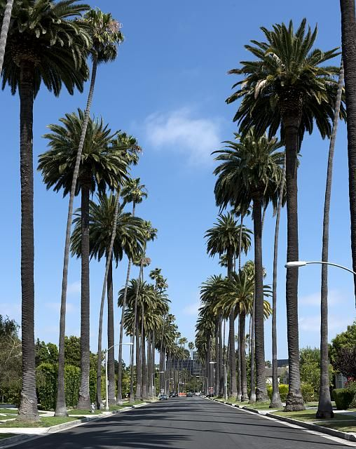 Beverly Hills Palm Trees Palm Tree Lined Street In